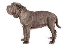 Neapolitan Mastiff Dog Breed Information – All You Need to Know