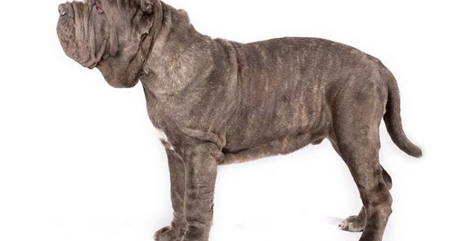 Neapolitan Mastiff Dog Breed Information All You Need To Know