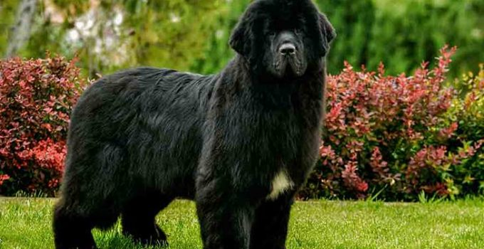 Newfoundland Dog Breed Information All You Need To Know