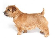 Norfolk Terrier Dog Breed Information – All You Need to Know