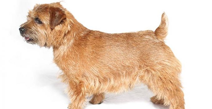 Norfolk Terrier Dog Breed Information All You Need To Know