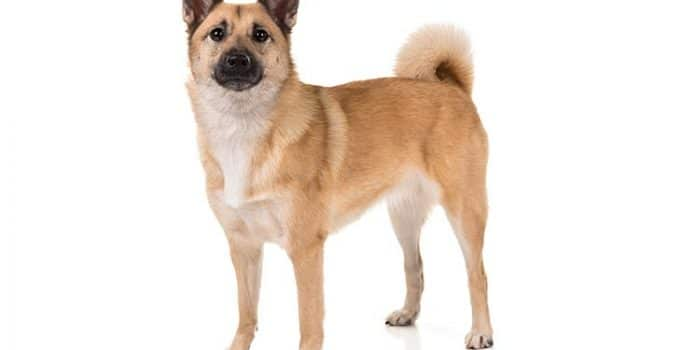 Norwegian Buhond Dog Breed Information All You Need To Know