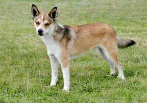 Norwegian Lundehund Dog Breed Information All You Need To Know