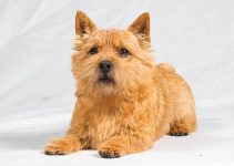 Norwich Terrier Dog Breed Information All You Need To Know