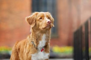 Nova Scotia Duck Tolling Retriever Dog Breed Information All You Need To Know