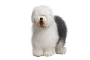 Old English Sheepdog Dog Breed Information All You Need To Know