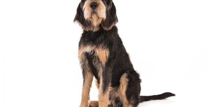 Otterhound Dog Breed Information All You Need To Know