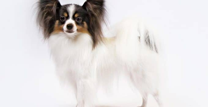 Papillon Dog Breed Information All You Need To Know