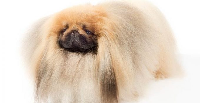 Pekingese Dog Breed Information All You Need To Know
