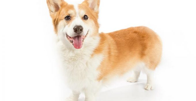 Pembroke Welsh Corgi Dog Breed Information All You Need To Know