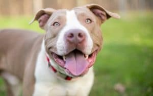 Pitbull Dog Breed Information All You Need To Know