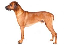 Rhodesian Ridgeback Dog Breed Information All You Need To Know