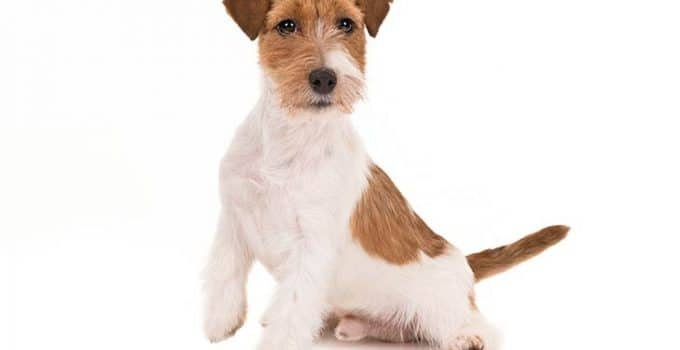 Russell Terrier Dog Breed Information All You Need To Know