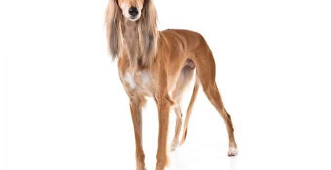 Saluki Dog Breed Information All You Need To Know