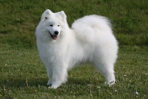 Samoyed Dog Breed Information All You Need To Know