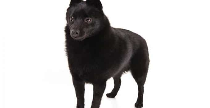 Schipperkes Dog Breed Information All You Need To Know