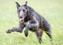 Scottish Deerhound Dog Breed Information All You Need To Know