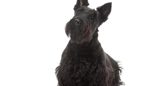Scottish Terrier Dog Breed Information – All You Need To Know