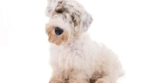 Sealyham Terrier Dog Breed Information – All You Need To Know