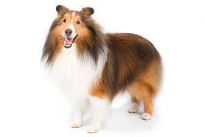 Shetland Sheepdog Dog Breed Information All You Need To Know