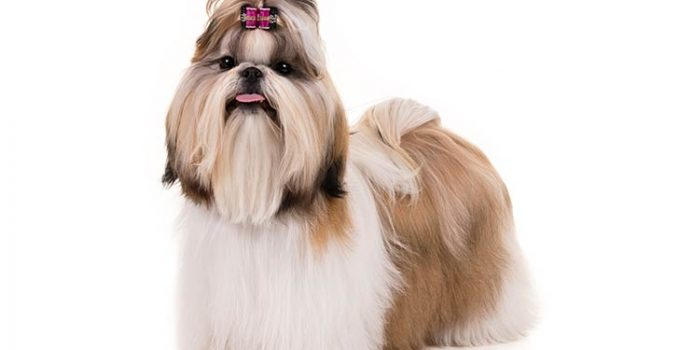 Shih Tzu Dog Breed Information All You Need To Know
