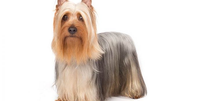 Silky Terrier Dog Breed Information All You Need To Know