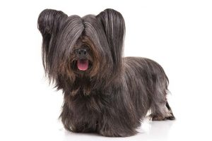 Skye Terrier Dog Breed Information All You Need To Know