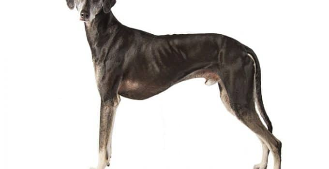 Sloughi Dog Breed Information All You Need To Know