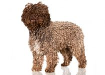 Spanish Water Dog Breed Information All You Need To Know