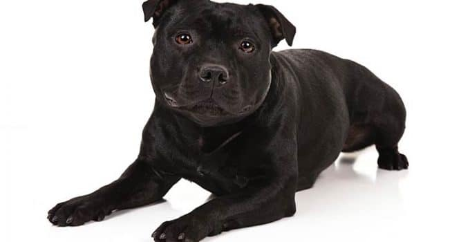 Staffordshire Bull Terrier Dog Breed Information All You Need To Know