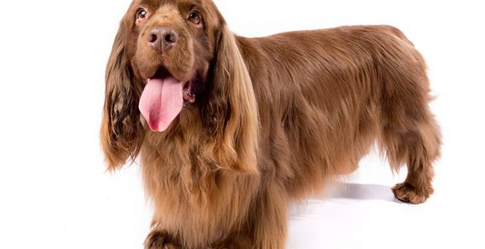 Sussex Spaniel Dog Breed Information All You Need To Know