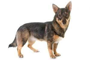 Swedish Vallhund Dog Breed Information All You Need To Know