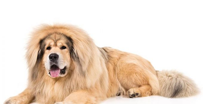 Tibetan Mastiff Dog Breed Information All You Need To Know