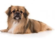 Tibetan Spaniel Dog Breed Information All You Need To Know