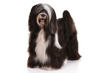 Tibetan Terrier Dog Breed Information All You Need To Know
