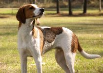 Treeing Walker Coonhound Dog Breed Information All You Need To Know