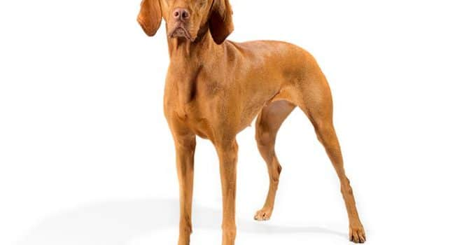 Vizsla Dog Breed Information – All You Need To Know