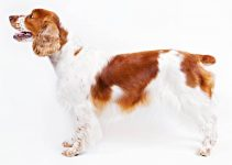 Welsh Springer Spaniel Dog Breed Information – All You Need to Know