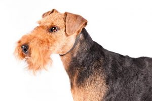 Welsh Terrier Dog Breed Information – All You Need To Know
