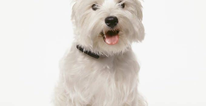West Highland White Terrier Dog Breed Information – All You Need To Know
