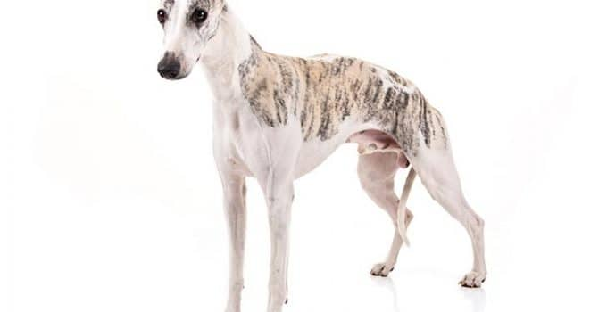 Whippet Dog Breed Information – All You Need To Know
