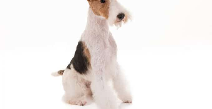 Wire Fox Terrier Breed Information – All You Need To Know