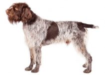 Wirehaired Pointing Griffon Dog Breed Information – All You Need to Know