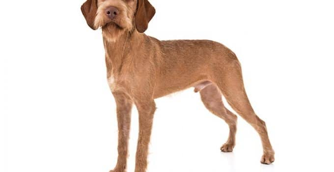 Wirehaired Vizsla Dog Breed Information – All You Need To Know