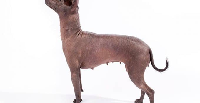 Xoloitzcuintli Dog Breed Information – All You Need To Know