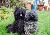 Puli Dogs At Lawn