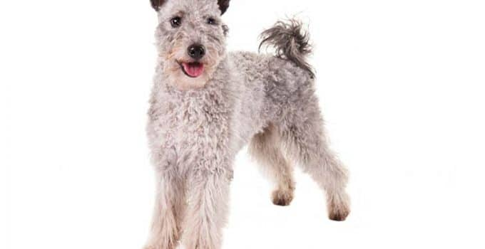 Pumi Dog Breed Information – All You Need To Know