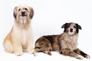 Pyrenean Shepherd Dog Breed Information – All You Need To Know