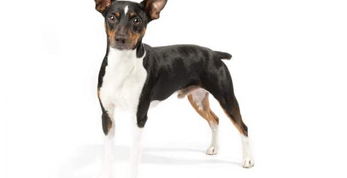 Rat Terrier Dog Breed Information – All You Need To Know