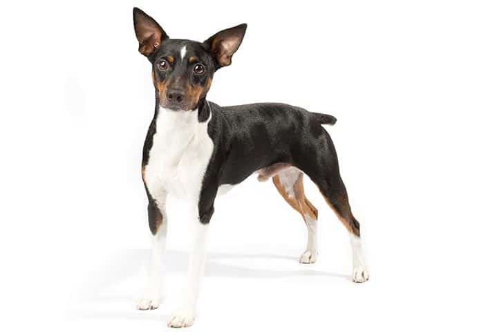 Rat Terrier Dog Breed Information All You Need To Know